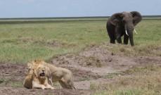 Lions on a Tanzania Safari