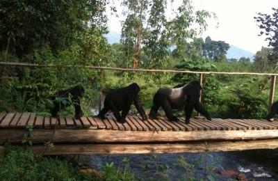 Uganda Gorillas In Style