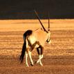 Namib-Desert-Oryx