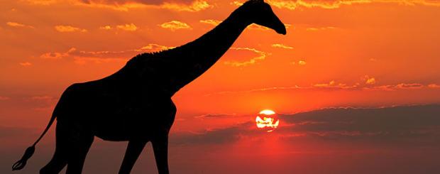 zimbabwe-giraffe africa